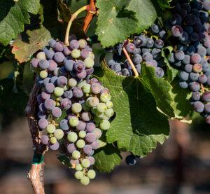 Grapes undergoing veraison in the Mira estate vineyards